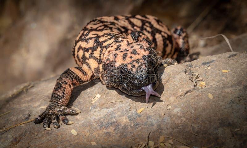 与舌头的大毒蜥怪物Heloderma suspectum有毒蜥蜴延伸了 免版税库存图片