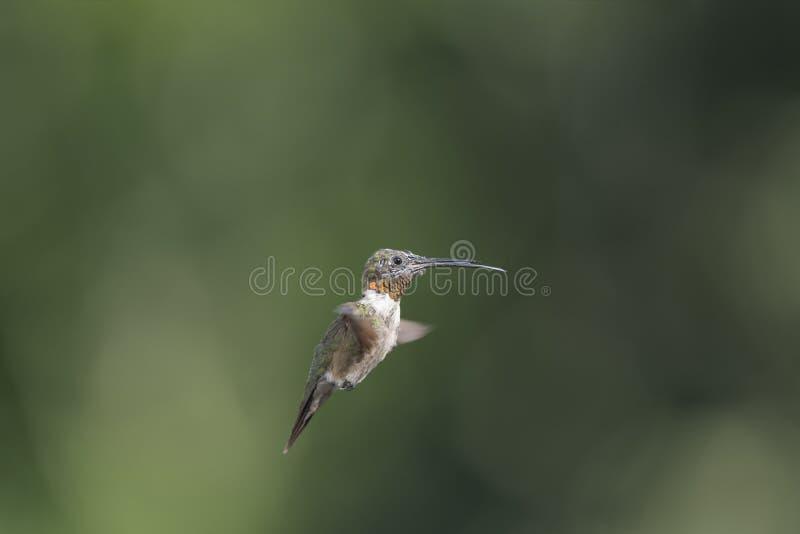 与舌头的蜕变的男性红宝石红喉刺莺的蜂鸟飞行 免版税库存图片