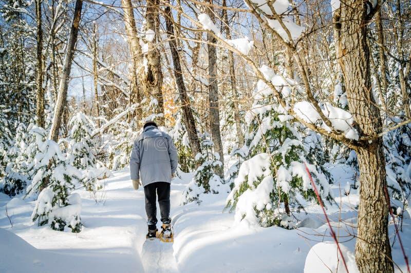 与色的槭树和Christmass treesin魁北克c的冬天场面 库存图片
