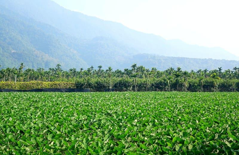 与芋头厂的大领域 免版税库存图片