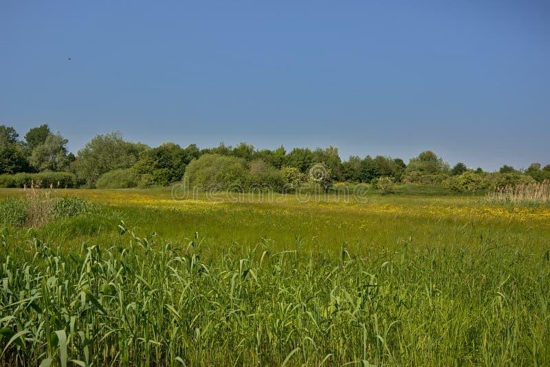 与芦苇和树的晴朗的豪华的绿色沼泽风景在佛兰芒乡下 库存图片