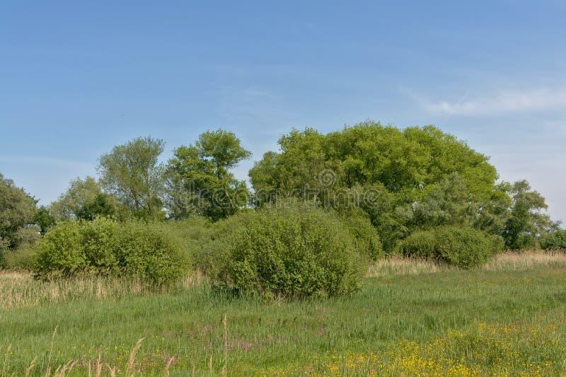 与芦苇和树的晴朗的豪华的绿色沼泽风景在佛兰芒乡下 免版税库存照片