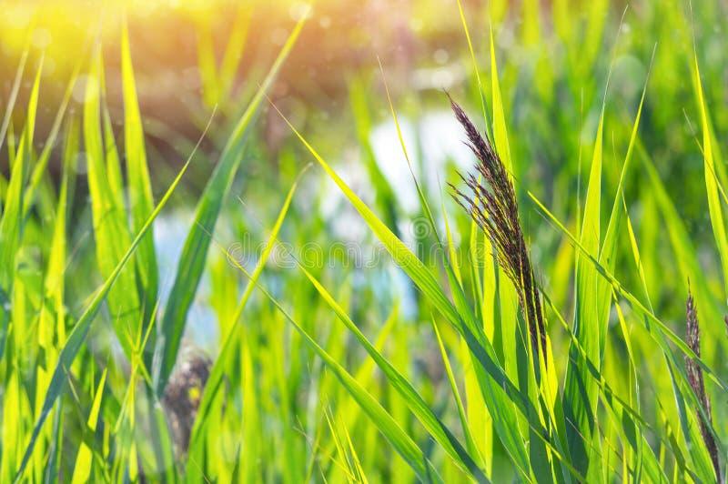 与芦苇植物的自然本底 图库摄影