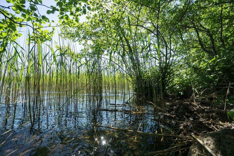与芦苇的湖岸 图库摄影