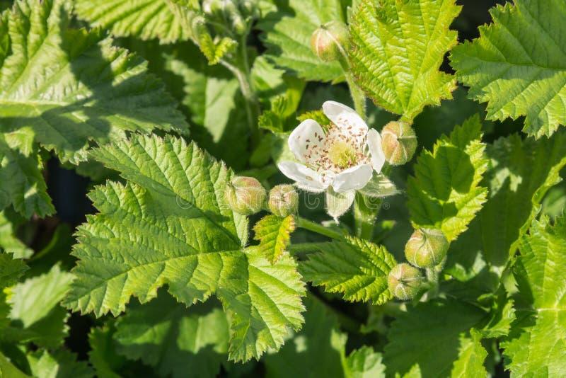 与花和年轻叶子的黑莓灌木在绽放 免版税图库摄影