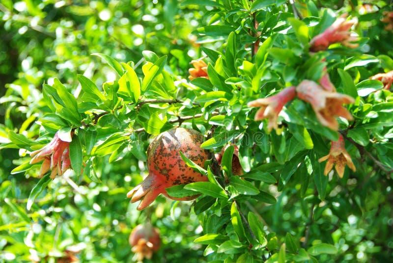 与花和年轻石榴的绿色分支 库存图片