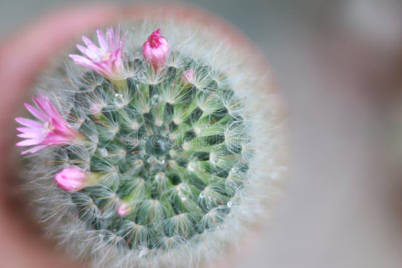 与花开花的仙人掌 库存照片