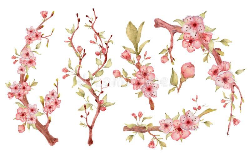 与花水彩例证的佐仓分支 开花瓣花束 皇族释放例证
