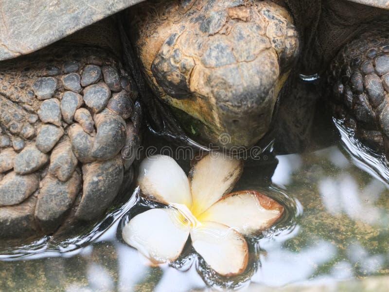 与花泰国的乌龟 库存图片