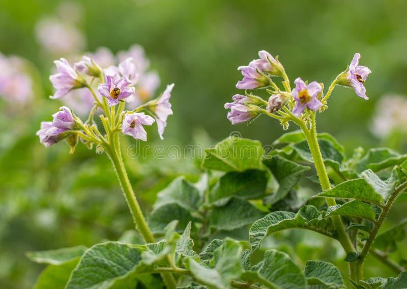 与花特写镜头的开花的土豆领域 土豆的绿色领域 免版税库存照片