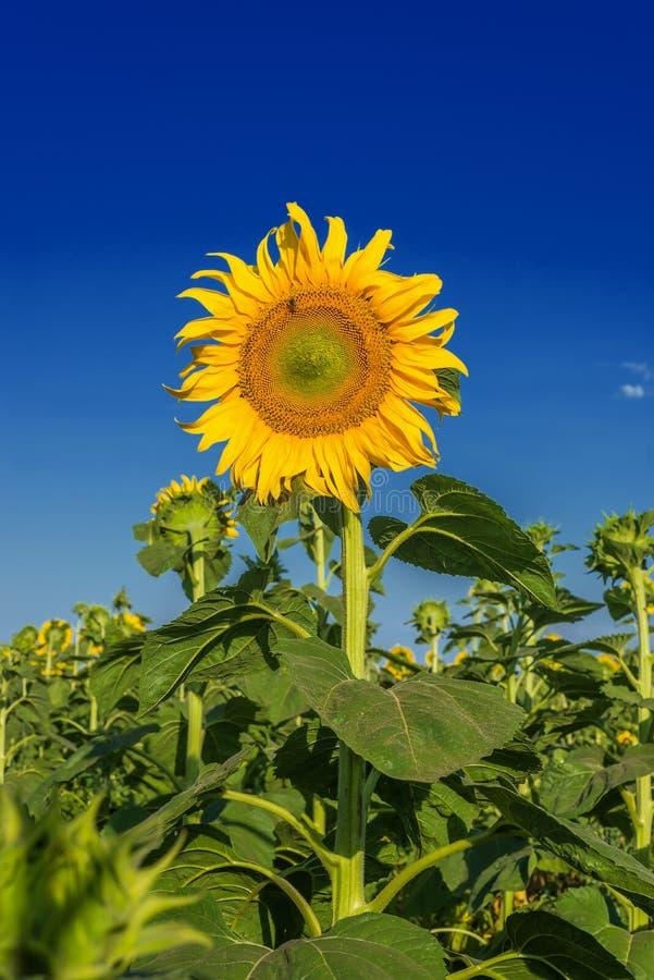 与花的一个向日葵在领域和在日落的深蓝色 免版税库存照片