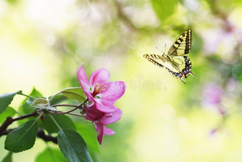 与花的一个苹果树分支在5月春天晴朗的庭院和蝴蝶里振翼 免版税库存照片
