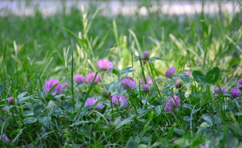 与花的三叶草在公园 图库摄影