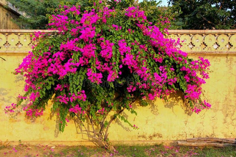 与花的九重葛树对在皇家cen的黄色墙壁 免版税库存图片