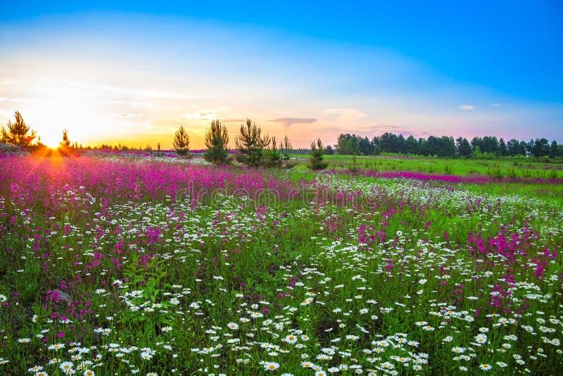 与花的夏天风景在草甸和日落 图库摄影