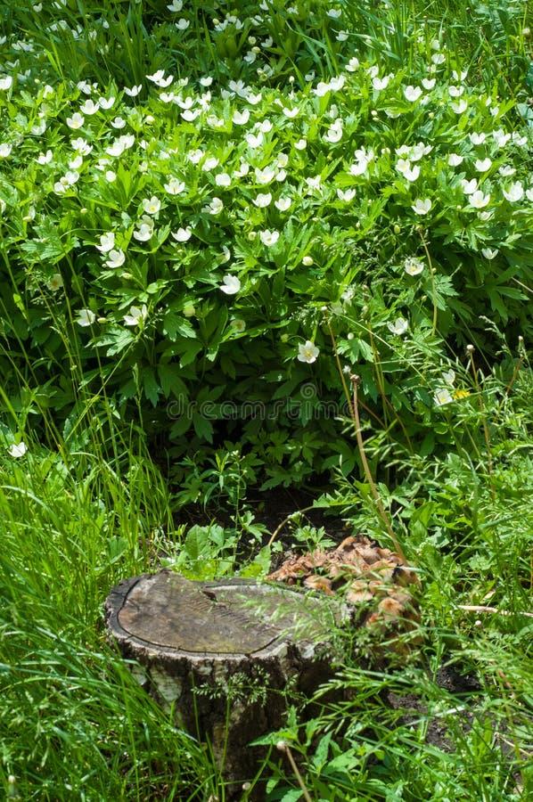 与花的夏天风景 银莲花属nemorosa是early-spri 图库摄影