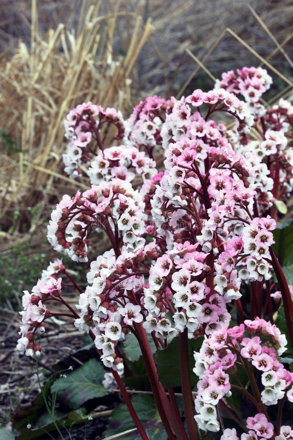 与花的岩白菜属常青多年生植物 免版税库存图片