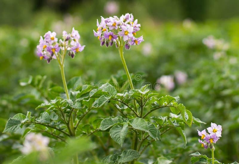与花的开花的土豆领域 土豆的绿色领域 库存照片