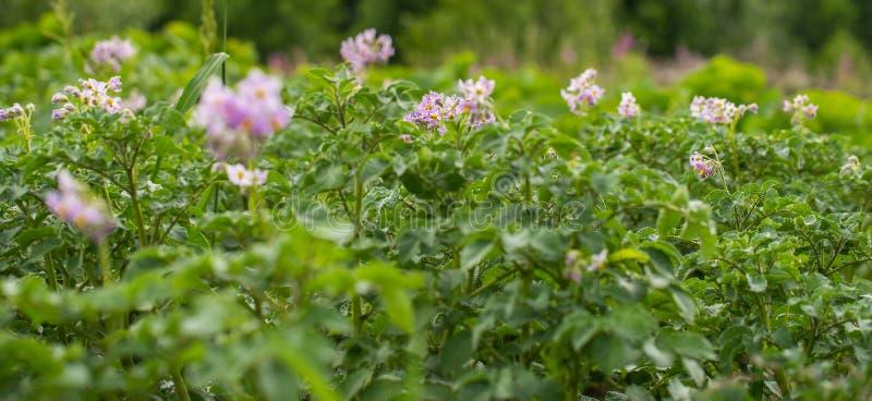与花的开花的土豆领域 土豆的绿色领域 免版税库存照片