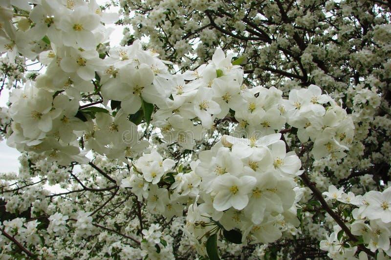 与花的春天分支 免版税库存图片