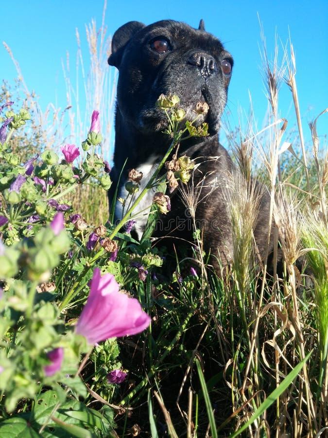 与花的法语Bulldogg 免版税库存图片