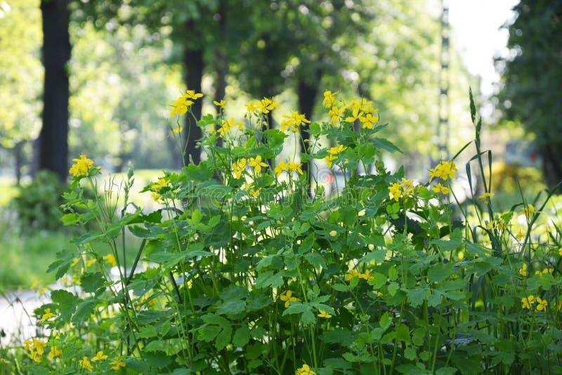 与花的白屈菜在公园 免版税库存照片