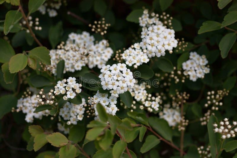 与花的白色荚莲属的植物布什在模糊的后面 免版税库存照片
