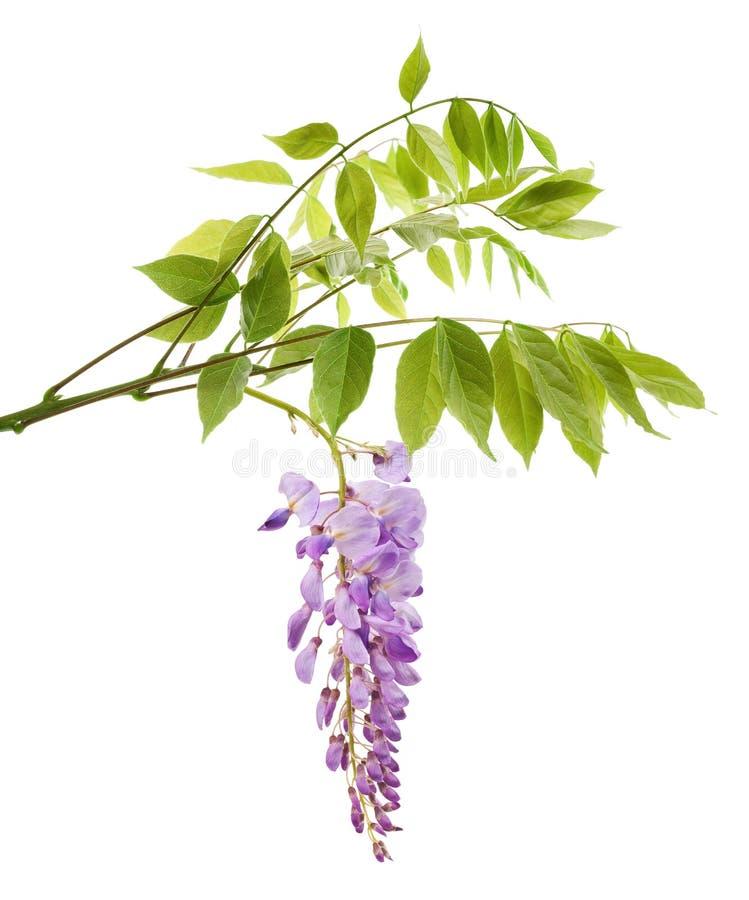 与花的紫藤分支 免版税库存图片