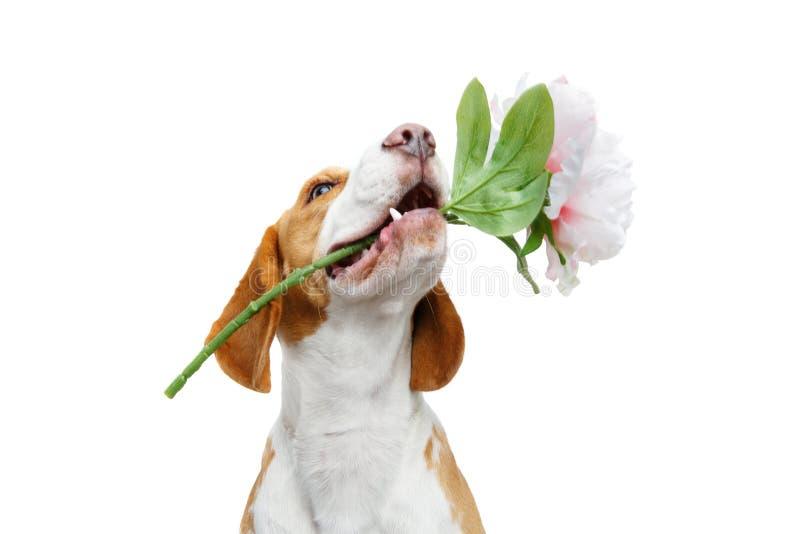 与花的美丽的小猎犬狗 库存图片