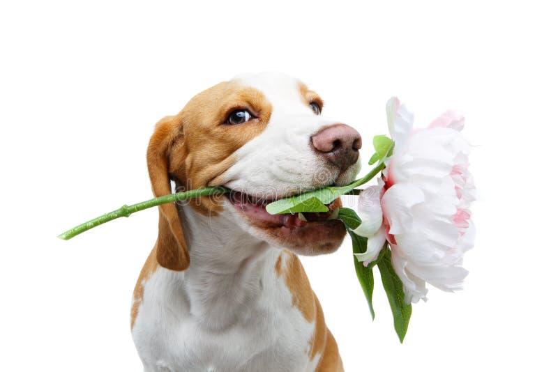 与花的美丽的小猎犬狗 库存照片