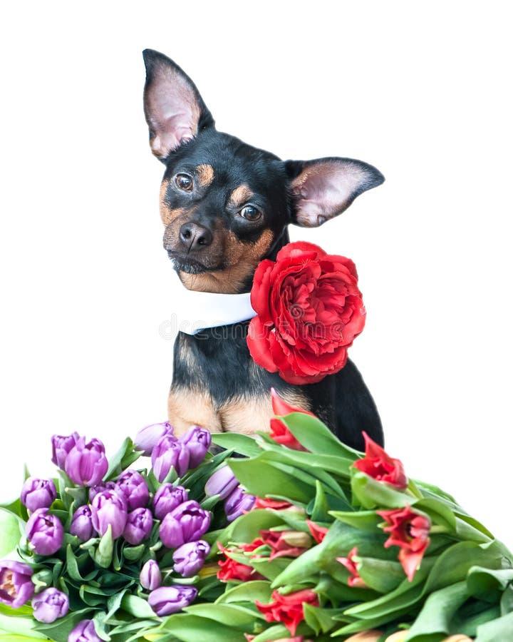 与花的美丽的狗,隔绝在白色 狗和郁金香 P 免版税库存照片