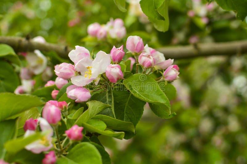 与花的苹果树分支关闭  春天的概念和生气勃勃、庭院和收获 库存照片