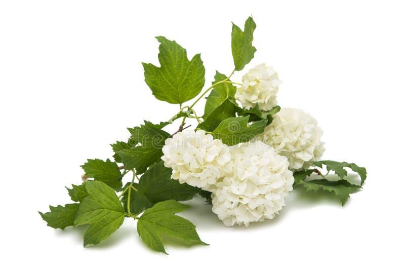 与花的荚莲属的植物分支 免版税图库摄影