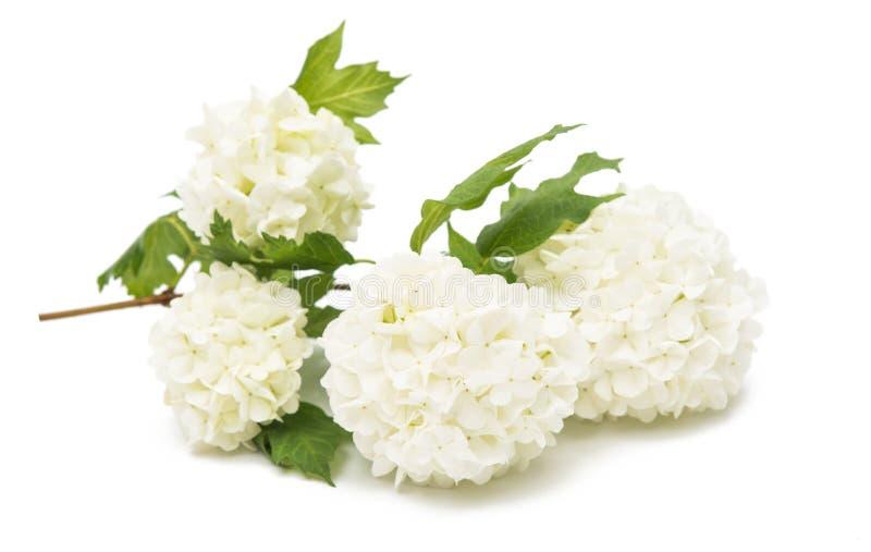 与花的荚莲属的植物分支 免版税库存图片