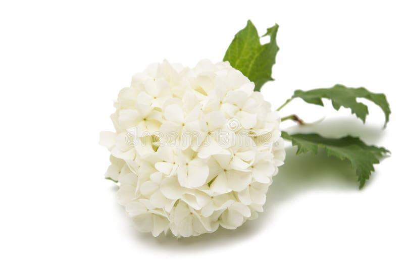 与花的荚莲属的植物分支 免版税库存照片