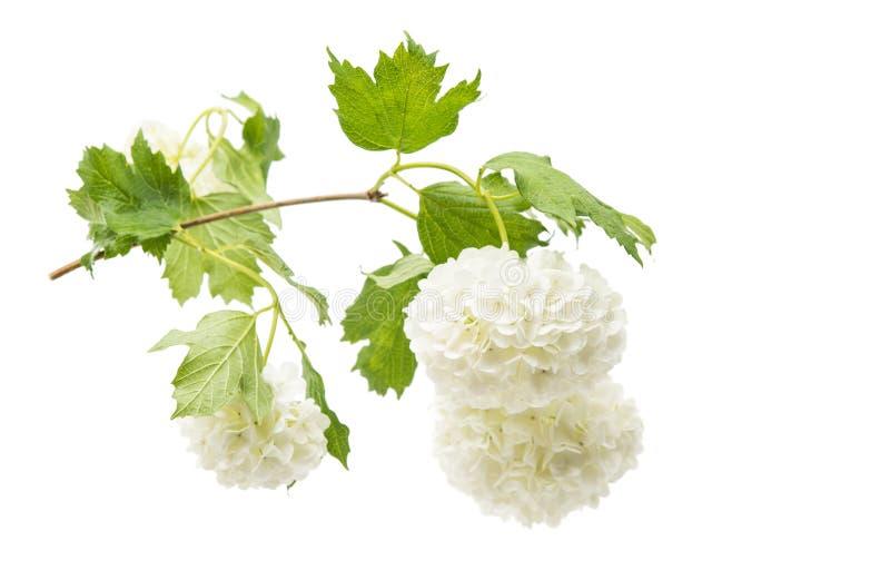 与花的荚莲属的植物分支 库存照片