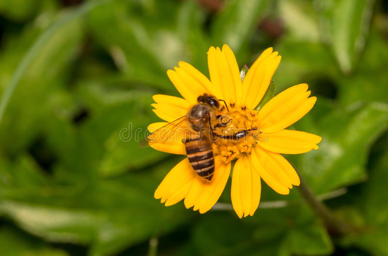 与花的蜂 免版税图库摄影