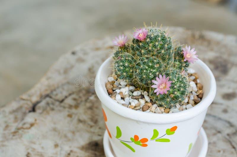 Download 与花的逗人喜爱的小仙人掌在罐 库存照片. 图片 包括有 室外, 西班牙, 削尖, 沙漠, 花卉, 植物群 - 62526136
