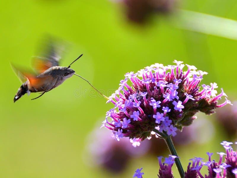与花的飞蛾 免版税库存图片