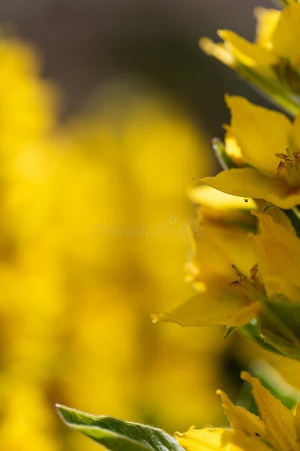 与花的黄色背景在边 免版税库存照片