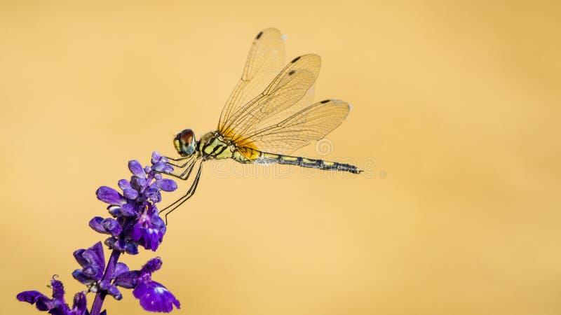 与花的蜻蜓 库存图片