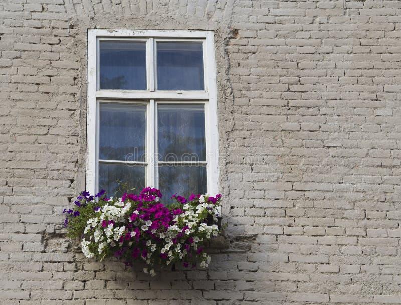 与花箱子的白色窗口有在奶油色whi的五颜六色的大竺葵的 库存图片