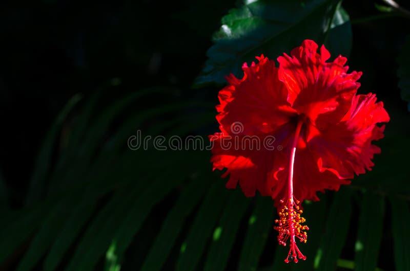 与花粉的红色木槿花在深绿叶子背景 库存图片