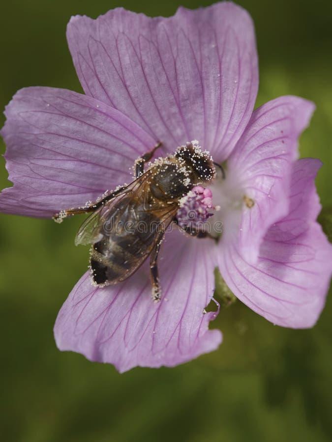 与花粉的蜂 免版税库存图片