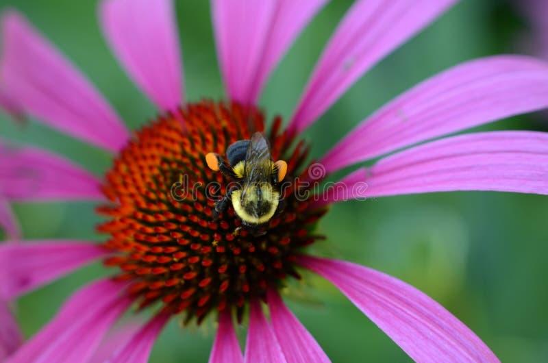 与花粉篮子的蜂在coneflower头的后腿 免版税库存照片