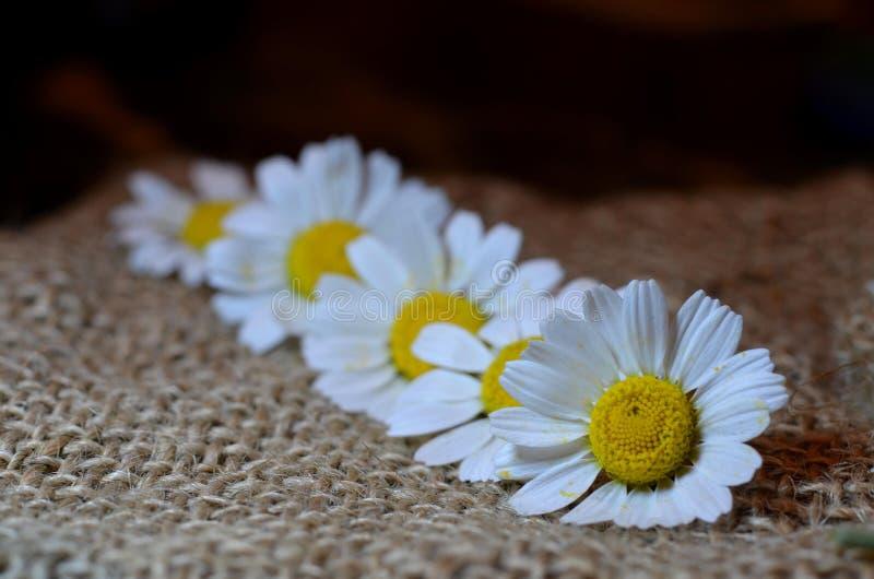 与花雏菊的静物画 免版税库存图片