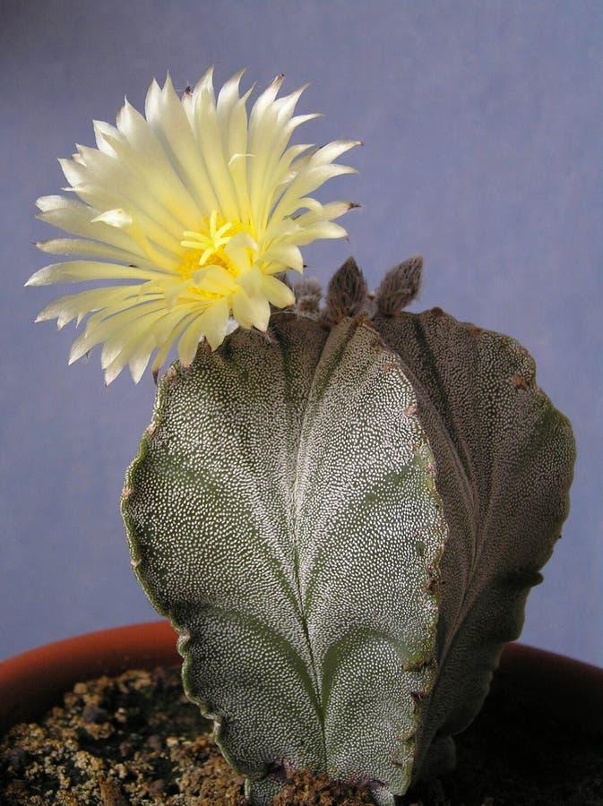 与花- Astrophytum myriostigma的仙人掌 库存图片