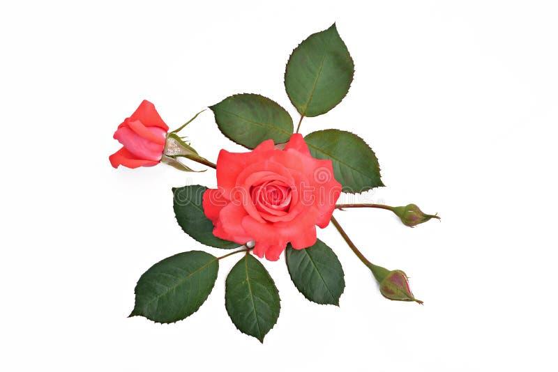 与芽和叶子的红色玫瑰在白色背景(拉丁名字: 免版税图库摄影