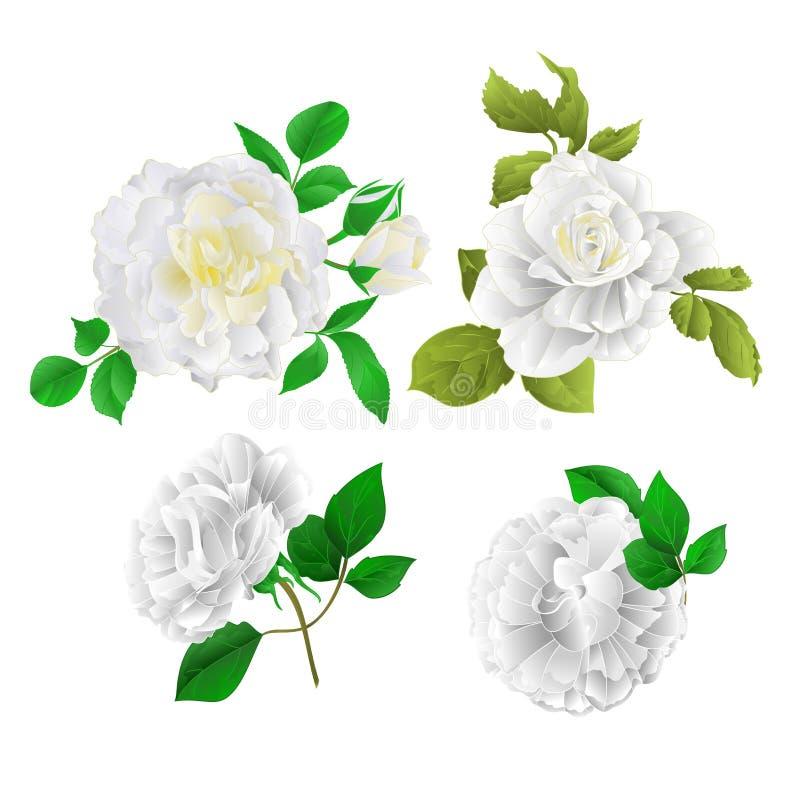 与芽和叶子葡萄酒的白玫瑰在白色背景设置了两传染媒介例证编辑可能 向量例证