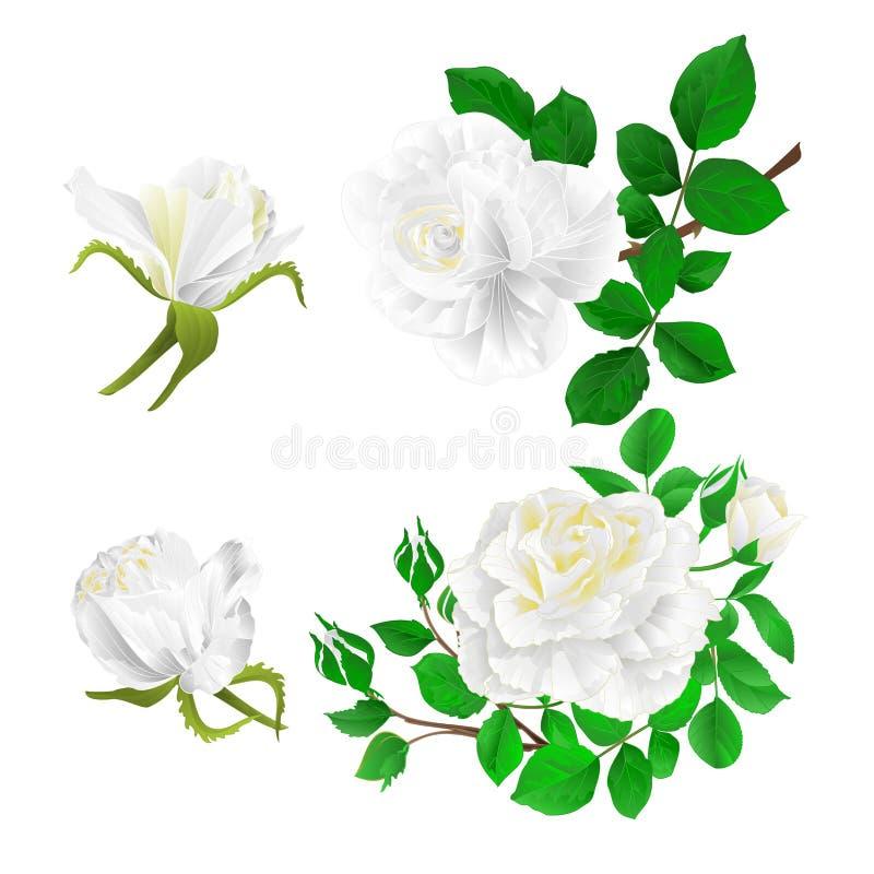 与芽和叶子葡萄酒的白玫瑰在白色背景设置了第一个传染媒介例证编辑可能 库存例证